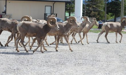Bighorn sheep loses battle with cougar
