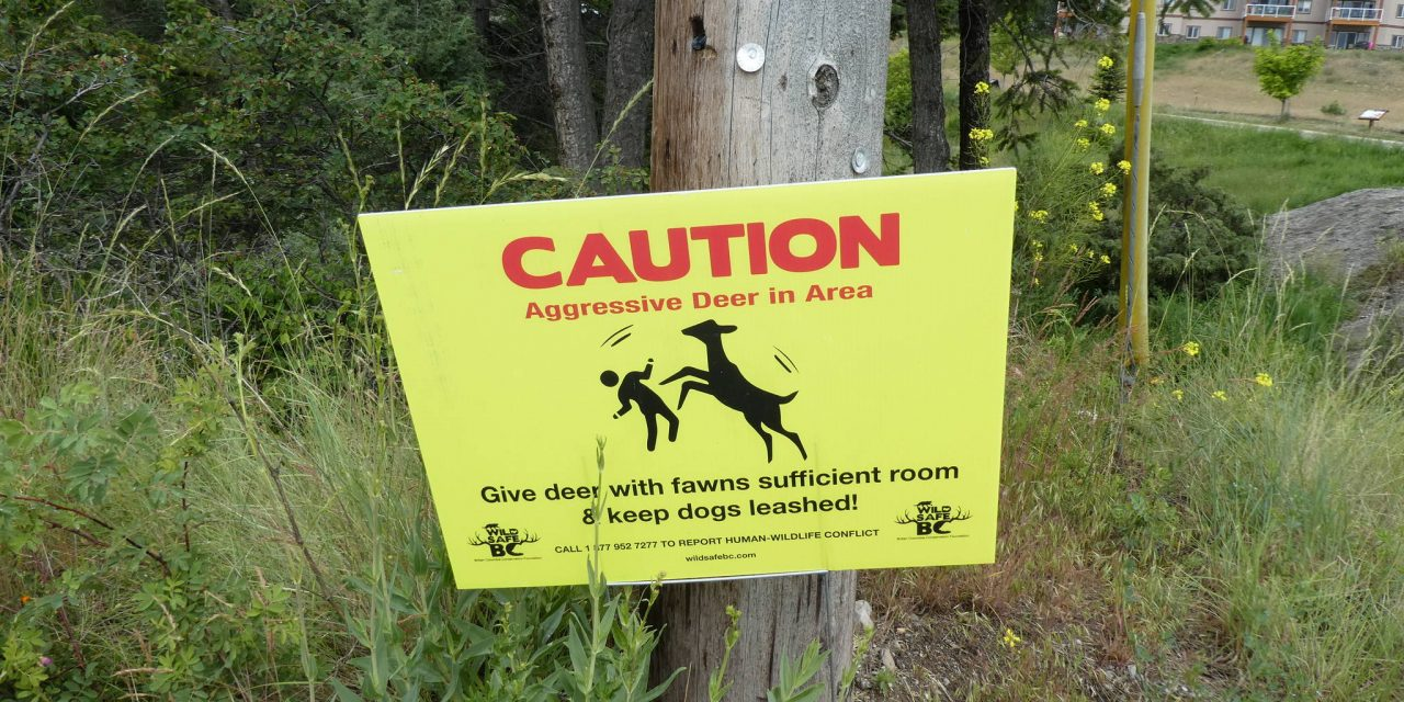 Invermere deer 'hoofs' woman and dog