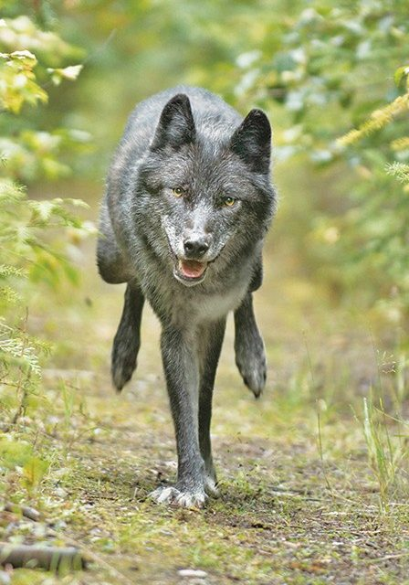 Ranchers, conservationists react to new B.C. wolf plan