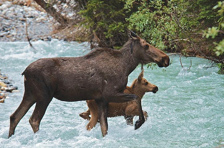 Moose numbers across B.C. in decline