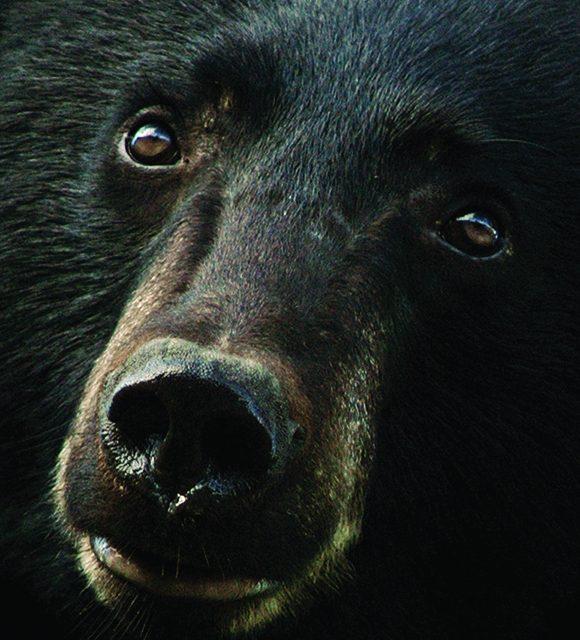 Trio of bears destroyed in CastleRock