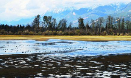 Columbia Wetlands Waterbird Survey seeking volunteers