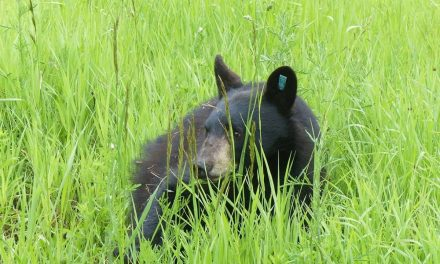 Kootenay yearling released into northern wild