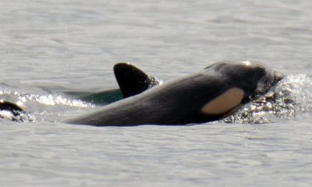 PHOTOS: 2nd calf in a month confirmed among Southern Resident killer whale pod