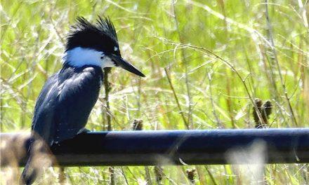Urban wildlife Part II: The East Kootenay birds of summer
