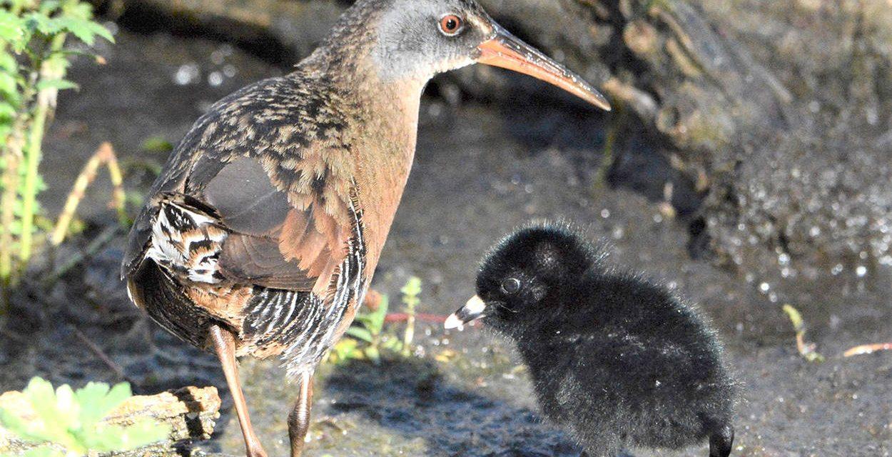 Urban wildlife Part III: The East Kootenay birds of summer