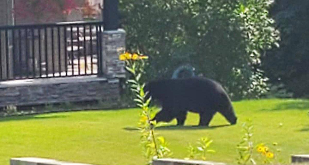 Bears take the brunt of negative human behaviour in B.C.