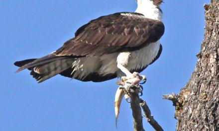 Urban wildlife Part IV: The East Kootenay birds of summer
