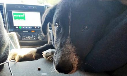 Puppy loses leg after fall from moving vehicle in Shuswap, BC SPCA investigates