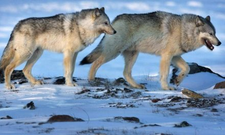 Army apologizes after Nova Scotia residents receive fake letter warning of wolves