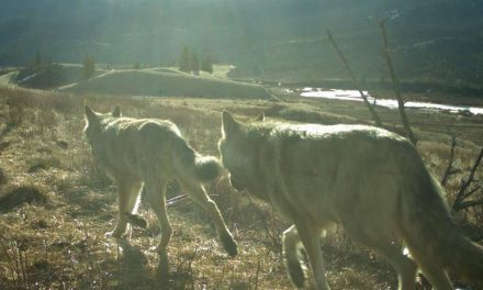 Banff wolves have lower survival rate due to hunting, trapping outside park boundary
