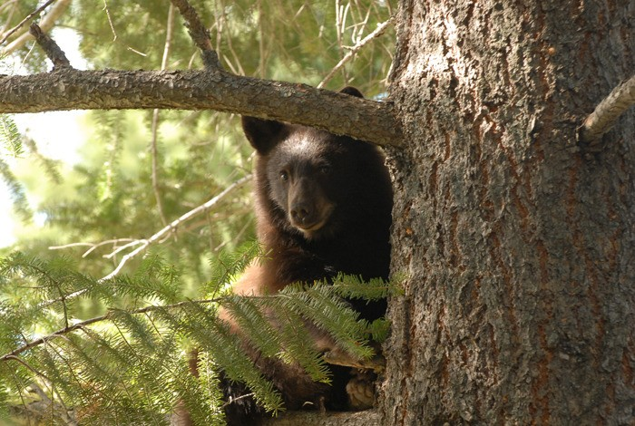 District of Invermere aims for Bear Smart status