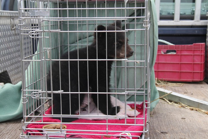 *update* Rescued bear cub from Invermere passes away at wildlife shelter