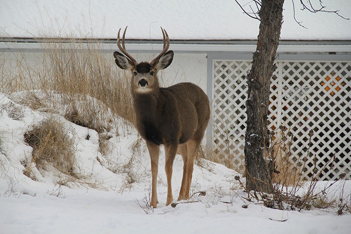 District of Invermere approves funding for urban deer relocation