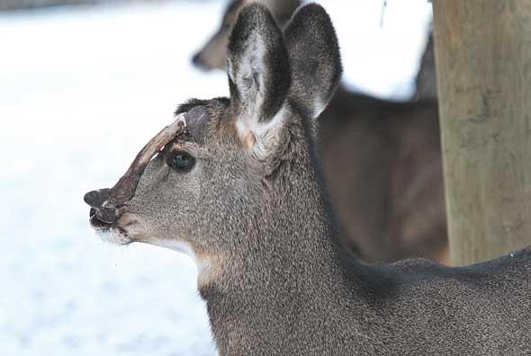 Readers speculate cause of deers deformity