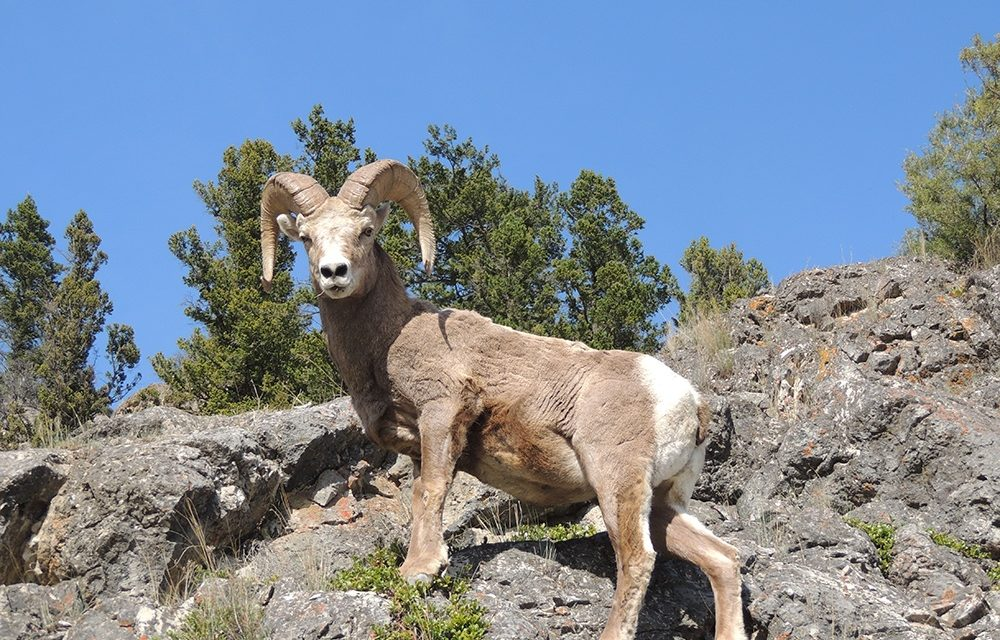 Biologist digs into Radium bighorn sheep migratory behaviour