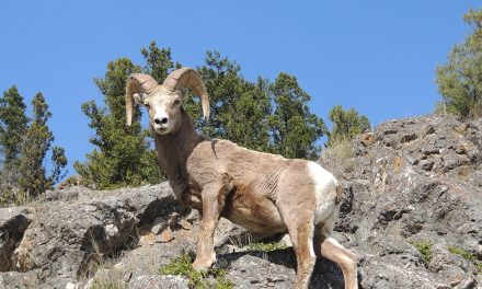 Biologist digs into Radium bighorn sheep migratory behaviour