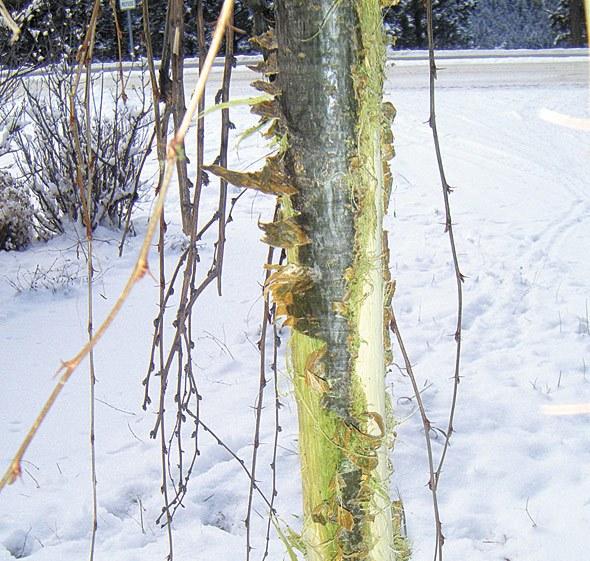 Deer destroy specialty plants