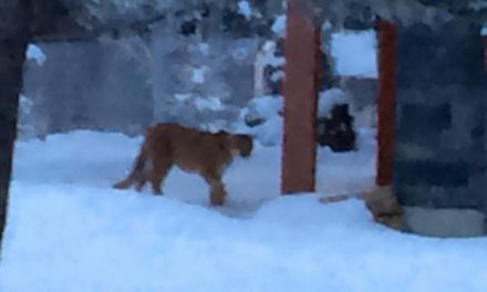 Cougar on the prowl in CastleRock killed