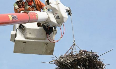 New roost for resident ospreys