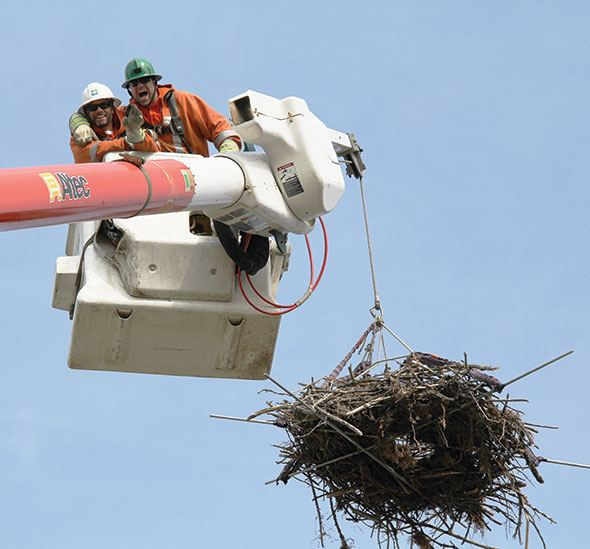 New roost for resident ospreys
