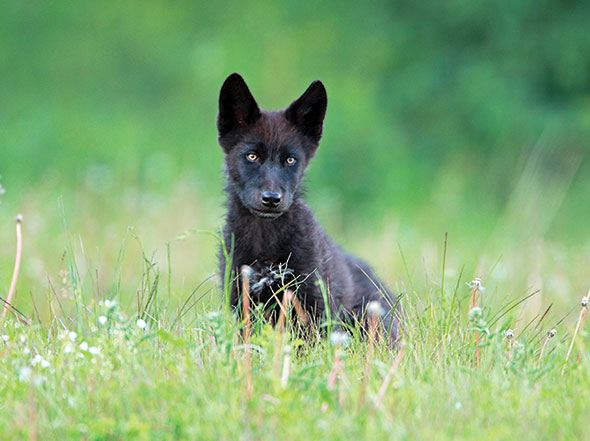 Getting to the meat of the wolf cull