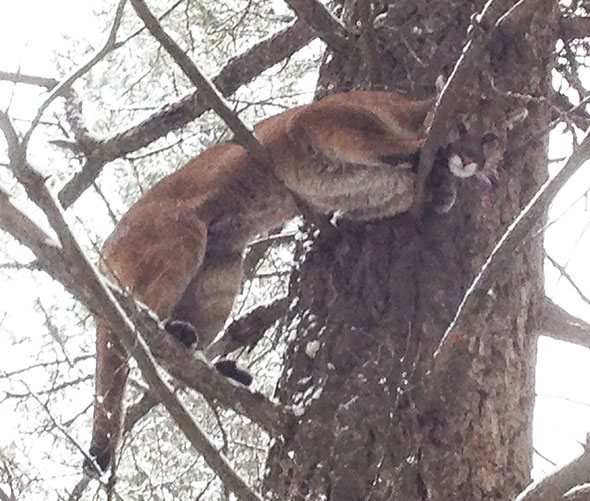 Cougars killed after hunting in residential areas