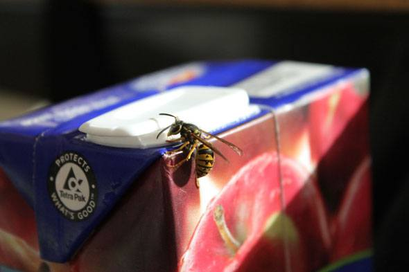 Valley feeling the sting of summer wasp influx