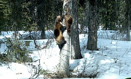 Wolverine numbers investigated
