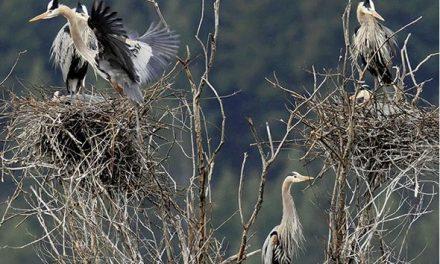 Great Blue Herons in decline