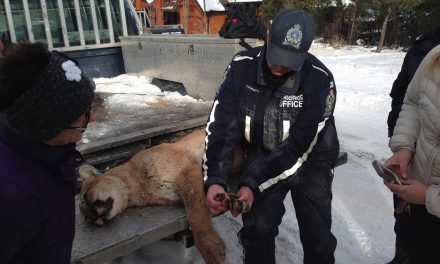 Conservation officers kill cougar on the prowl in Invermere