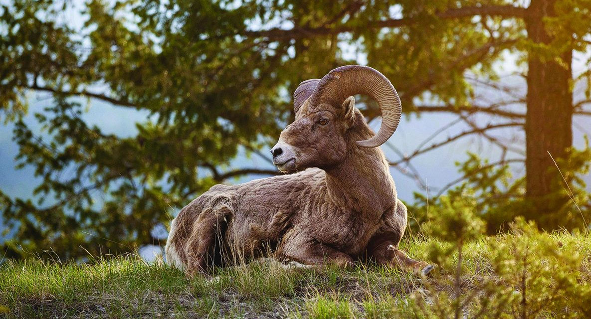 Motorists urged to slow down, drive with caution in wake of bighorn sheep fatalities in Radium